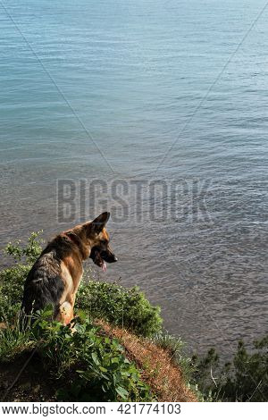 Hiking With Shepherd Dog In Mountains With Ocean Views In Good Sunny Weather. German Shepherd Sits O