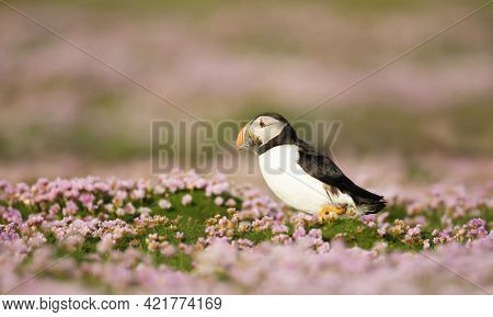 Close Up Of Atlantic Puffin With Sand Eels In Pink Sea Thrift Flowers On A Coastal Area Of Scotland,
