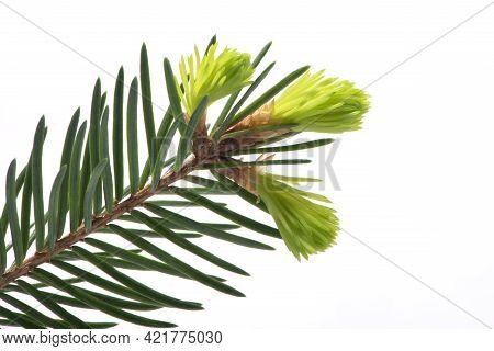 Spruce Twig With Light Green Tips Isolated On White Background. Alternative, Herbal, Natural Medicin