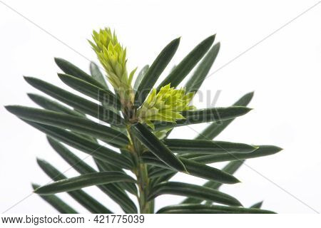 Hemlock Twig With Bright Green Tips Isolated On White Background. Alternative, Herbal, Natural Medic