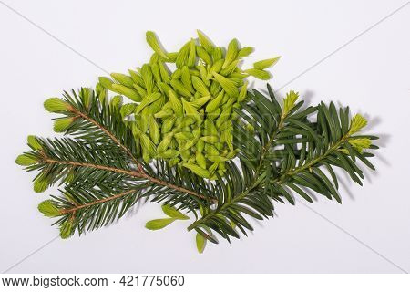 Spruce Tips And Fir And Hemlock Twigs Isolated On White Background. Alternative, Herbal, Natural Med