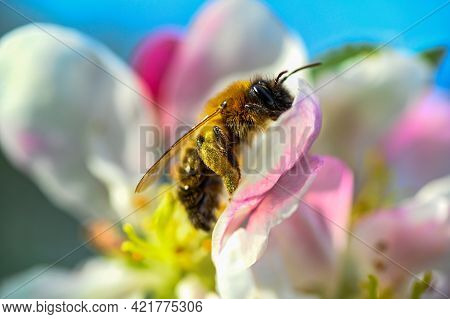 Bumblebee Collecting Pollen From Flower In Apple Tree