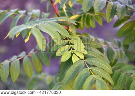 Green Leaves Of Mountain Ash In The Garden In Summer