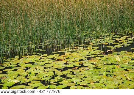 A Nuphar Lutea, The Yellow Water-lily Or Brandy-bottle At The Water Surface At Lake Skadar, National