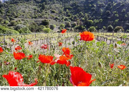 Red Poppies Bloom On Blurred Background Of Vineyards And Rocky Hills. Concept Of Terroir. Winemaking