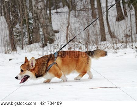 Welsh Corgi Are Herding Dog Breeds.it Is A Small Dog With Short Legs.