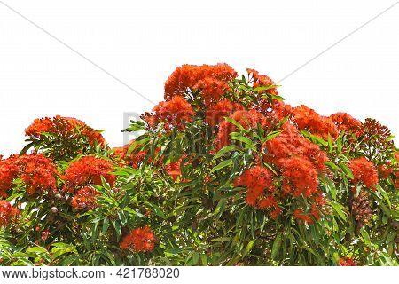 Red Flowers Tree Isolated Photo