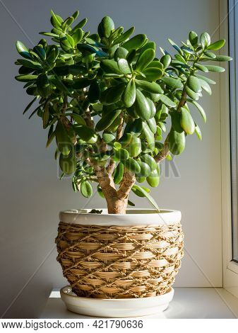 Crassula Ovata, Commonly Known As Jade Plant, Lucky Plant, Money Plant Or Money Tree, Is A Succulent