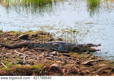 Snub Nosed Marsh Crocodile mugger crocodile (Crocodylus palustris) is a crocodilian native to freshwater in India. Ranthambore National Park, Rajasthan, India
