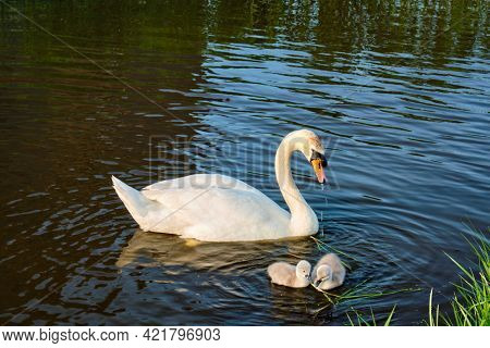 Swan with little swans in river