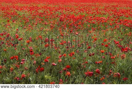 Meadow Full Of Poppies, Field Of Poppies In Bloom, Floral Texture, Floral Background, Poppy Gradient