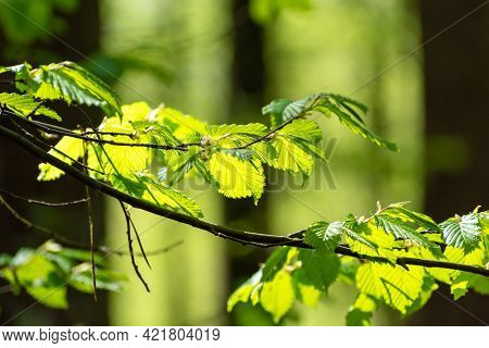 A Branch Of Green Hazel Highlighted With Sunlight, Spring View