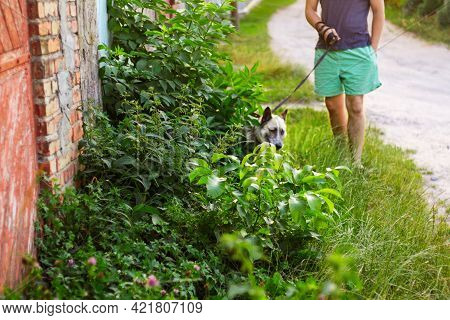 Defocus Young Man With His Dog Walking Outdoor During Summer Day. Hound Dog Seating Through Tall Thi