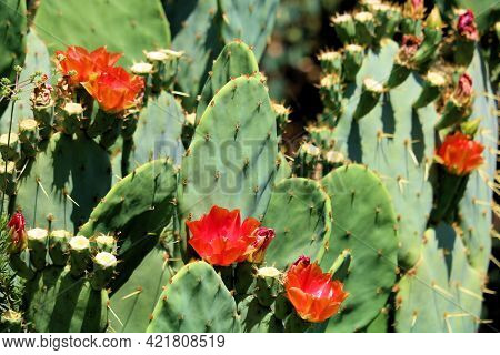 Prickly Pear Plant Flower Blossoms During Spring Taken On The High Desert Plateau At A Chaparral Woo