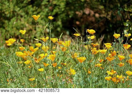 Poppy Flower Blossoms During Spring On A High Desert Plateau Taken At A Lush Meadow In The Rural Moj