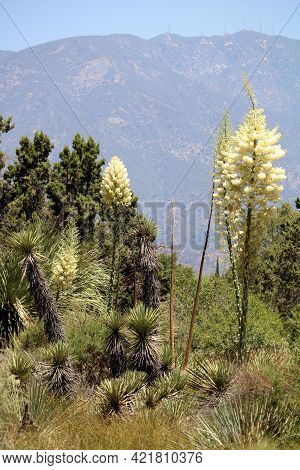 Yucca Plant Flower Blossoms During Spring With The San Gabriel Mountains Beyond Taken At A Chaparral