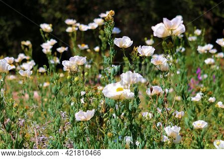 White Poppy Plant Flower Blossoms During Spring Which Are Native To Chaparral Woodlands On The High