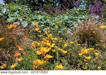 Chaparral Plants And Spring Wildflowers Including The Poppy Flower On A Lush High Desert Plateau Tak