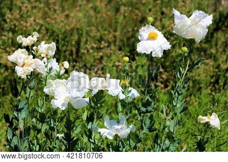 White Poppy Plant Flower Blossoms On A Lush Field Covered With Chaparral Plants Taken At A Drought T