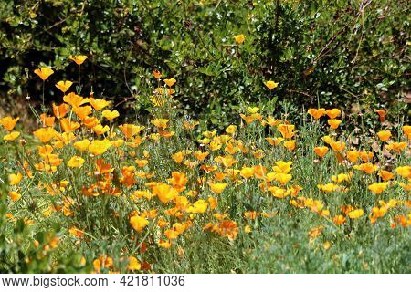 Poppy Plant Wildflower Blossoms During Spring On A High Desert Plateau Besides A Chaparral Woodland