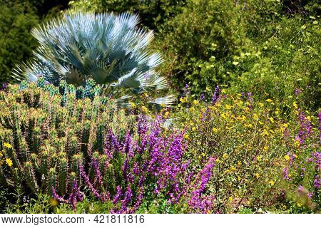 Chaparral Plants And Wildflowers During Spring Surrounding A Mexican Blue Palm Tree Taken On A High