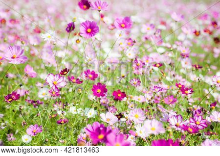 Summer Flower Landscape Scene With Cosmos Flowers, Daisies Spring Meadow Flower Nature Background Fl