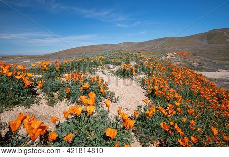 California Golden Poppies On A Small Ridgetop Hiking Trail In The High Desert Of Southern California