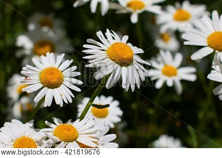 Flowering. Chamomile. Blooming Chamomile Field, Chamomile Flowers With Insects. Natural Herbal Treat