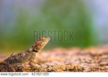 The Peninsular Rock Agama Or South Indian Rock Agama Is A Common Species Of Agama Found On Rocky Hil