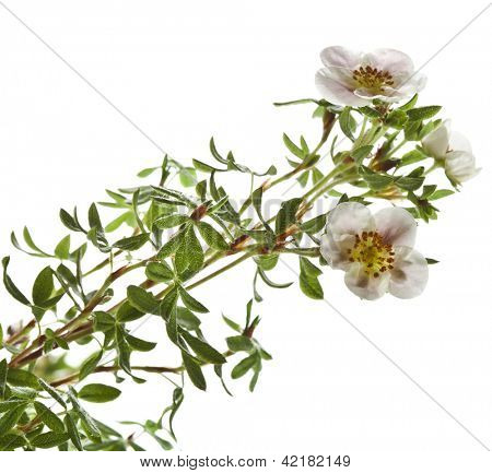Shrubby Cinquefoil , isolated on white poster