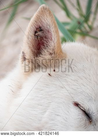 White Dog With Ticks On Ears Summer Nature Sand Beach Background. Animal Fell Insects. Puppy Hair Su