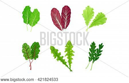 Salad Leaves With Curly Frisee And Lettuce Vector Set