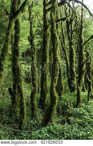 Tree Trunks Without Branches In Dense Green Moss In The Forest, Jungle. Habitat, Wild Place