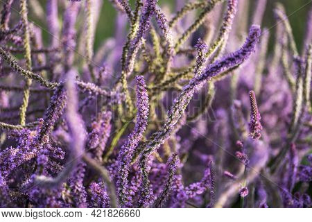 Floral Background. Blooming Lavender Closeup. Selective Focus
