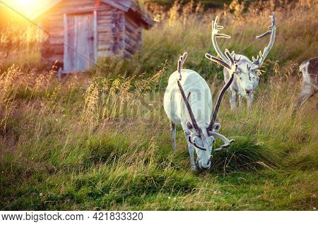 A Herd Of Reindeer Grazing On A Hill In Lapland At Sunset