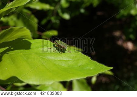 A Stink Bug On Green Leaves, Close-up