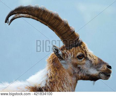 Alpine ibex in Chamonix Alps in France