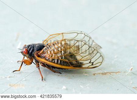 Brood X Adult Cicada Macro Portrait, Side View