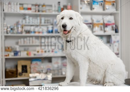 A Portrait Of Happy Big White Sheepdog Sitting On Reception Of Veterinary Store And Clinic. Pet Care