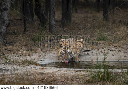 Wild Adult Male Bengal Tiger In Action Drinking Water Or Quenching Thirst From Waterhole In Safari A