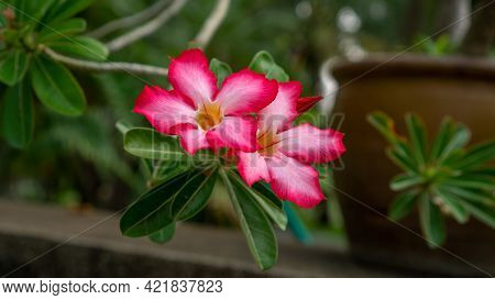 Branches Of Pink Petals Adenium Flower Plant Or Desert Rose Blossom On Blurry Green Leaf Background