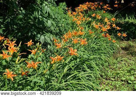 Line Of Flowering Orange Hemerocallis Fulva In Mid June