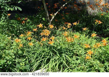 Numerous Orange Flowers Of Hemerocallis Fulva In Mid June