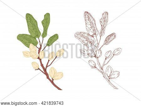 Colored Pistachio Tree Branch And Unpainted Outlined Sketch Of Pistache Plant With Leaves. Contoured
