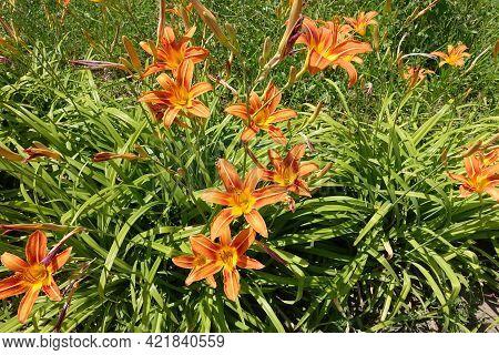 Vivid Orange Flowers Of Hemerocallis Fulva In June