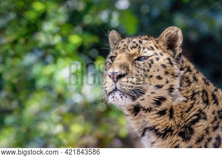 Amur leopard, Panthera pardus orientalis, close up portrait against foliage background. One of the rarest wild cats in the world and critically endangered, with only around 100 cats left in the wild.