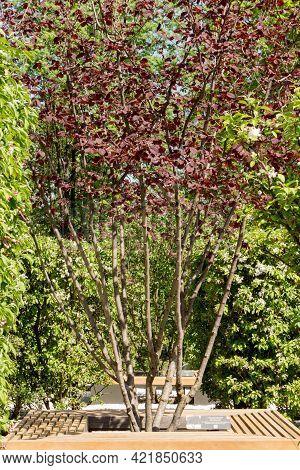 Red-leaved Hazel In A Landscape Park, Spring View.