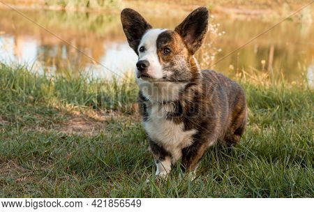 Closeup Side View Portrait Of Welsh Corgi Dog In Summer Background. Welsh Corgi Looking In Camera On