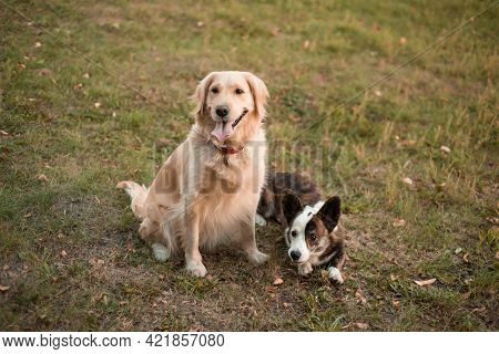 Closeup Portrait Of Cute Two Dogs Welsh Corgi Dog And Golden Retriever Dog Looking At Camera In Spri