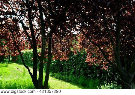 The Leaves Are Oblong-ovate Or Oval, And If The Tree Is Planted In Full Sun, Their Color Is Dark Bur